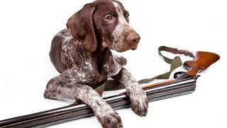Illustration for article titled Hunters, Stop Arming Your Dogs