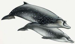Illustration for article titled Newly (re-)described species of beaked whale!