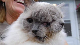 Illustration for article titled Adorable two-faced kitty wins Guinness Record — and our hearts