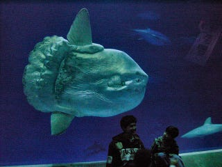 Illustration for article titled This One-Ton Fish Is One of Nature's Most Improbable Creations