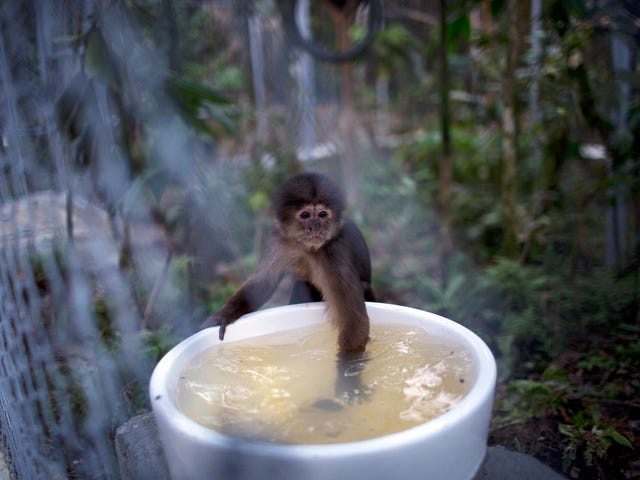 This Is Not Actually A Photo OfA Tiny Monkey Bathing In A Teacup
