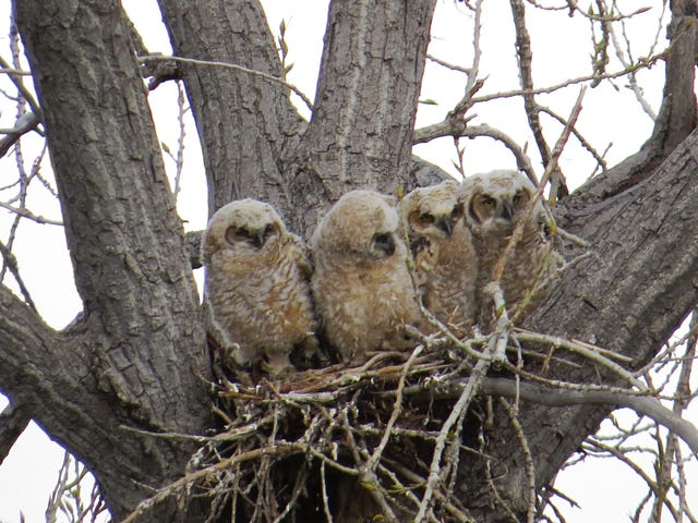 Great Horned Owlet Siblings Have Just Enough Space To Share The Nest