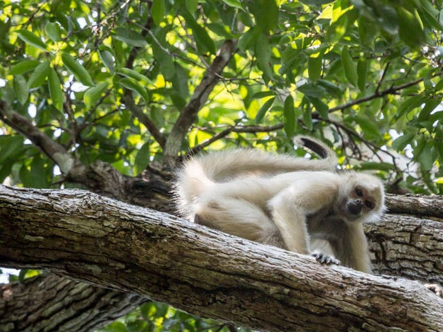 Ghost Monkeys Foretell Rainforest Destruction (Yes, Really)