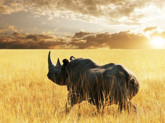Diseñar cuernos sintéticos para salvar al rinoceronte de la extinción.