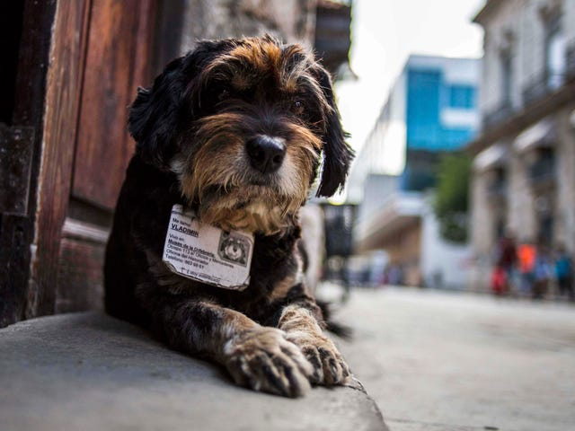 Official Cuban Street Dog Has A License To Be Adorable