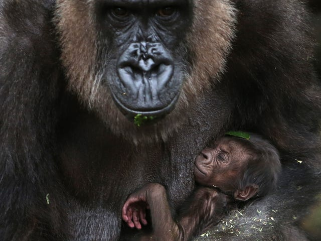 Newborn Baby Gorilla Enjoys A Nap While Its Mother Keeps Watch