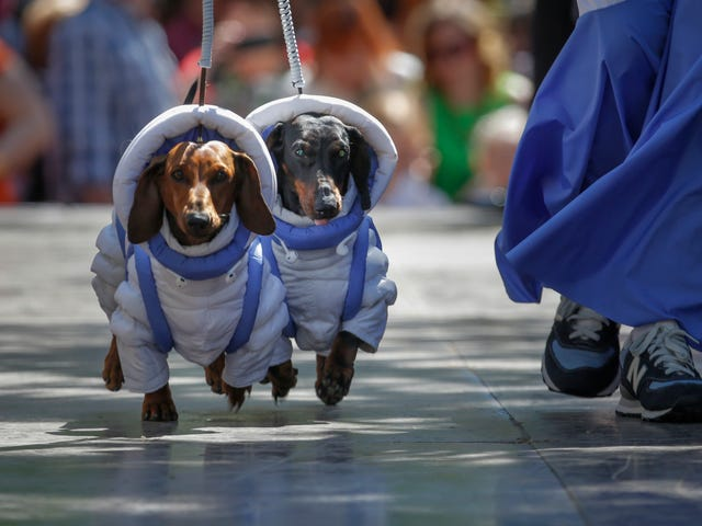 And Now, A Pair Of Dachshunds Dressed As Astro-Dogs