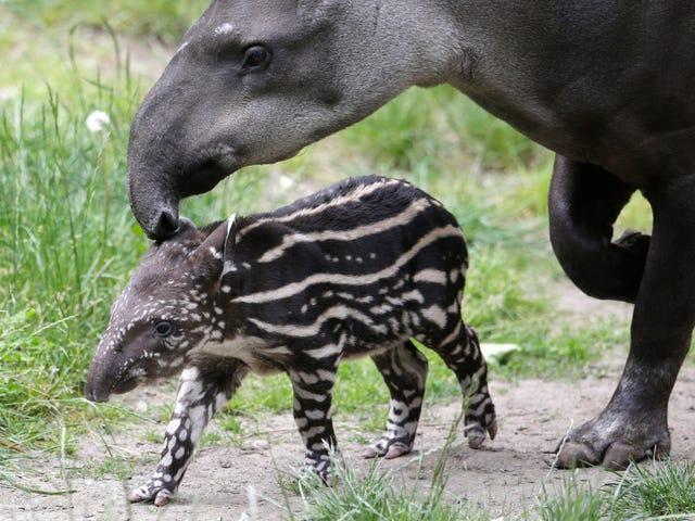 Newborn Baby Tapir Struts In Stripes