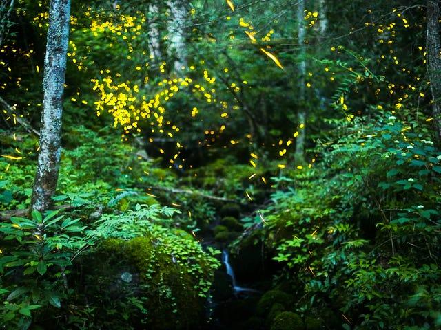Smokies Synchronous Fireflies ovat näköä toisin kuin mikään muu