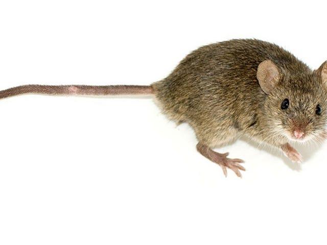 Trong chuột, một công tắc nội tiết tố tắt mùi của tình dục