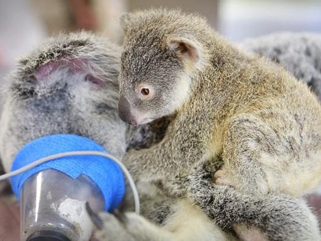 Touching Photos Show A Baby Koala Clinging To Mom While She Has Surgery