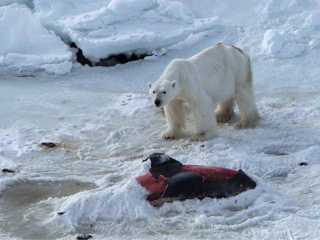 Unprecedented Photos Show A Polar Bear Eating Dolphins