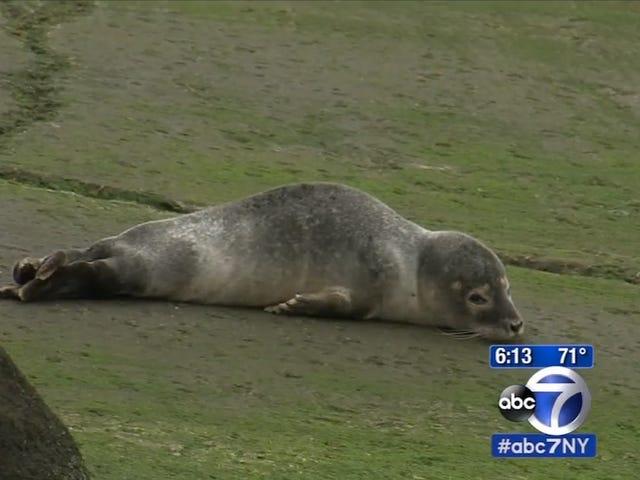 Very Chill Seal Pup passe la journée dans le Queens