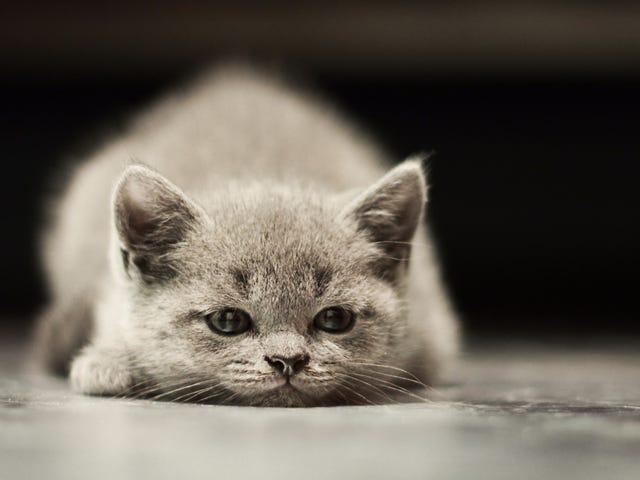 Mèo: Họ xấu
