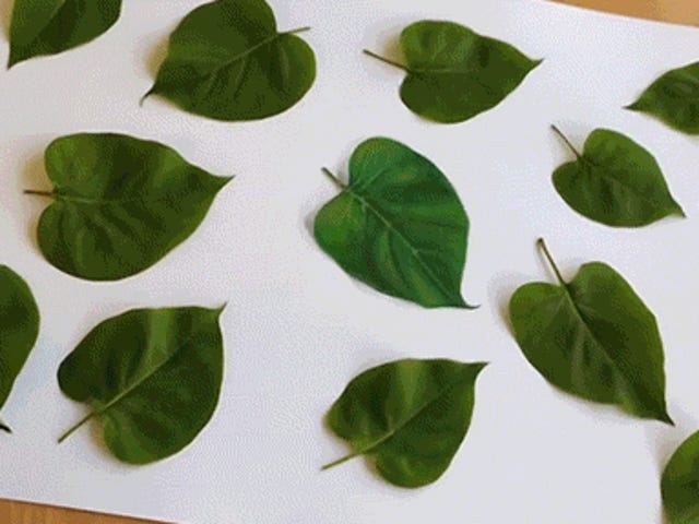 Welches dieser Blätter ist eigentlich nicht echt?