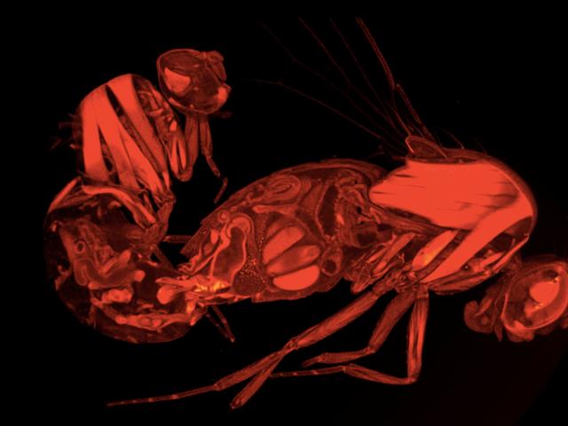 3D Scans Vis, hvordan sæd kontrollerer seksuel adfærd i kvindelige fluer