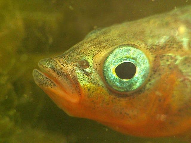 Υπάρχει ένα θανατηφόρο μυστικό κρυφό στο σχέδιο γονιμότητας αυτού του ψαριού