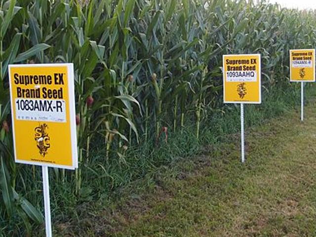 Có, GMOs an toàn để ăn