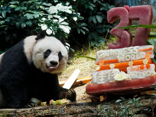 """Oldest Panda"" Celebrates With an Ice-Sculpture Cake and World Records"