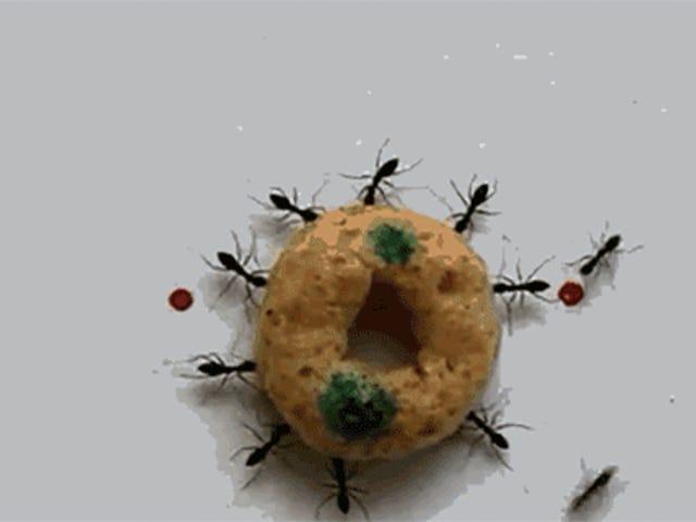 Como estas formigas carregam um Cheerio inteiro de volta à base