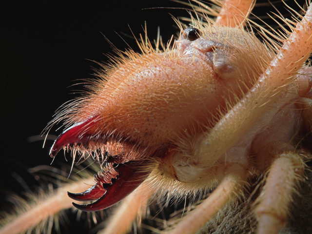 Close Up on the Fearsome Jaws of Camel Spiders