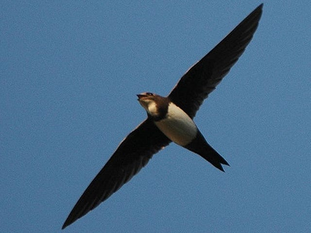This Bird Spends Over Six Straight Months in the Air