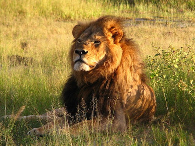 Delta Halts Shipping Wildlife Trophies In Response To Lion Slaying
