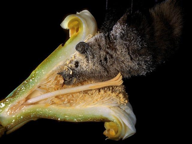 Voici un cactus soudoyant une chauve-souris pour l'aider à avoir des relations sexuelles