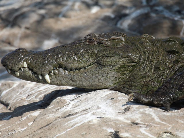 Một lựa chọn mới cho kiểm soát sinh cá sấu