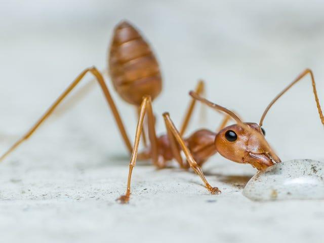 Descubren que las hormigas consumen agua oxigenada para combatir infecciones