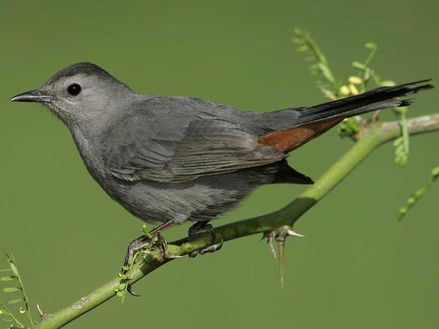 Tweet Salı: Gri Kedi Kuşları