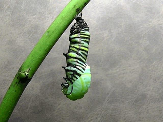 Βίντεο: Η μεταμόρφωση μιας κάμπιας σε πεταλούδα μονάρχης