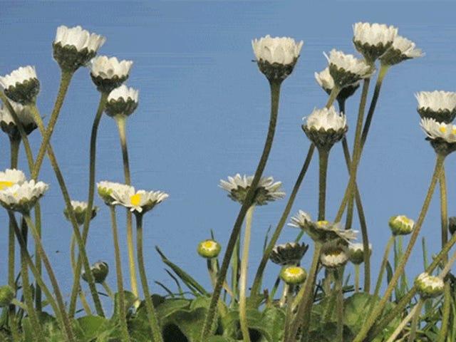 Diese blühenden Gänseblümchen sind so süß, dass sie fast wie eine Animation aussehen
