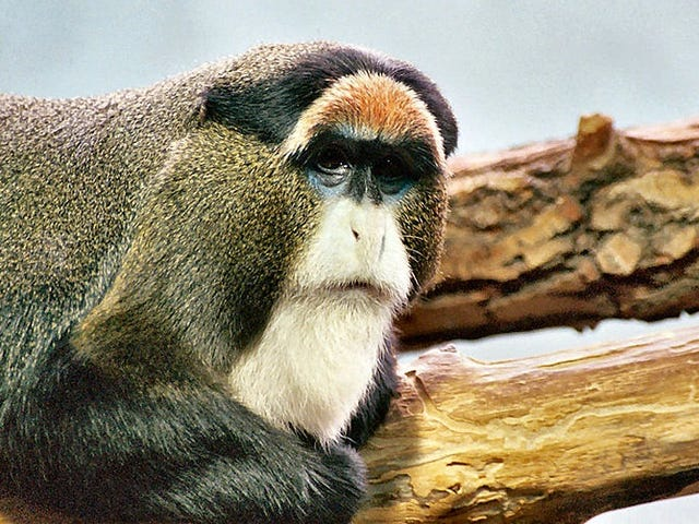The De Brazza's Monkey: The Monkey With the Wizard Beard