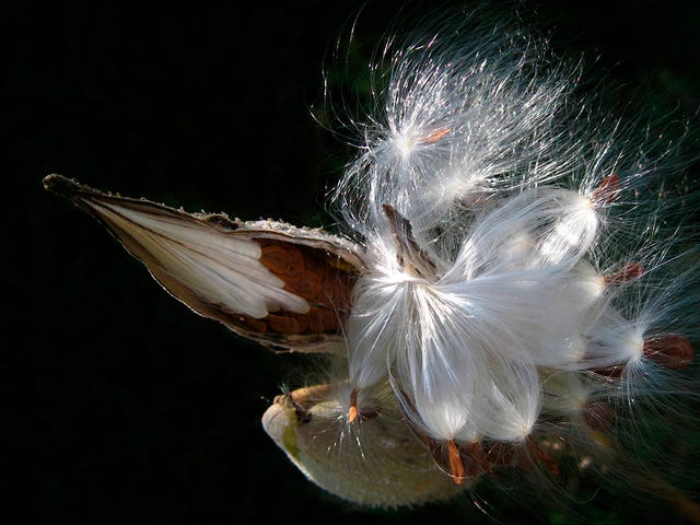 Could Humble Milkweed Replace Down Feathers In Your Outdoor Gear?