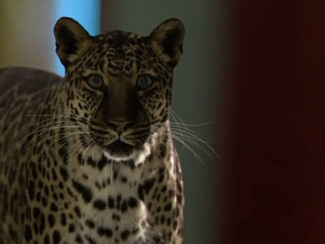 Leopards Steal the Show (And a Lot of Lives) In This Week's Double Episode of <i>Zoo</i>