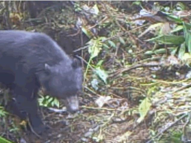 Редкий одетый медведь заинтересован в ловушке камеры, которая снимает его, с одобрительными результатами