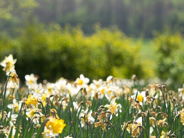 Trồng bóng đèn bây giờ cho những bông hoa đẹp, dễ dàng trong mùa xuân