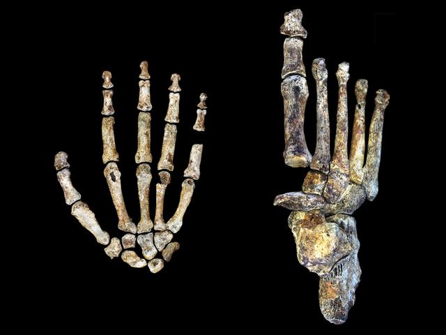 Πρόσφατα ανακαλύφθηκε, οι αρχαίοι άνθρωποι ήταν δέντρο-αναρριχητές που περπάτησαν και χρησιμοποιούσαν εργαλεία