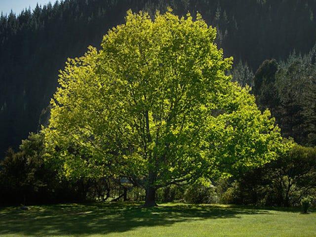 Trồng những cây này trong sân của bạn để tăng trưởng nhanh và bóng mát mùa hè