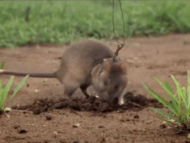 These Hero Rats Are Trained to Sniff Out Land Mines and Tuberculosis