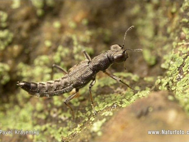 Amazing Anuses: Stenus Rove Beetles