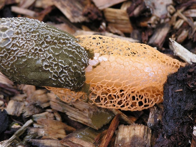 "About That ""Orgasmic"" Mushroom: It Probably Doesn't Exist"