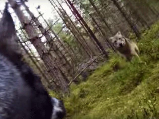 Kijk hoe een hond twee wolven vecht