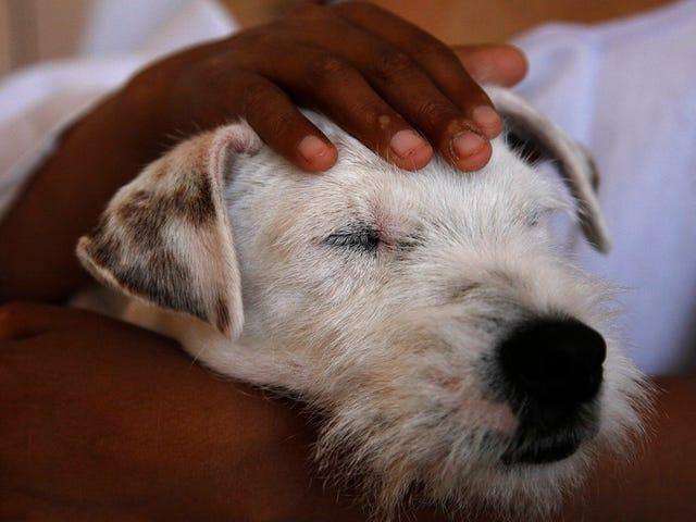 थेरेपी कुत्ते वास्तव में कैंसर रोगियों की मदद करते हैं