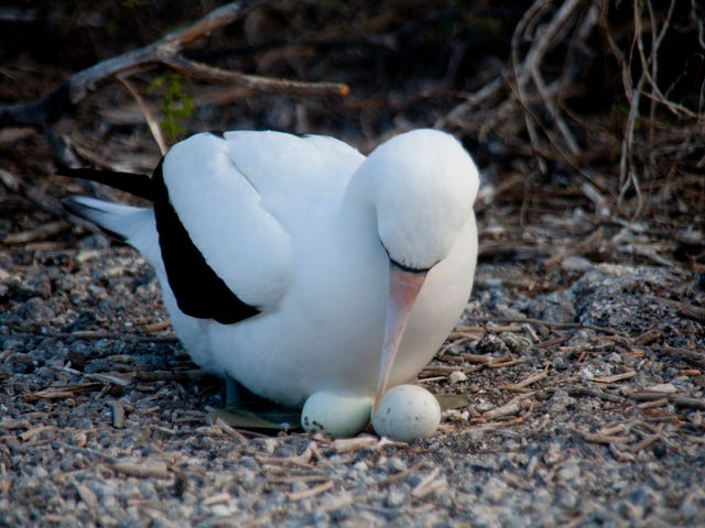 Bird Eggs NeedExtra Sperm To Make Chicks