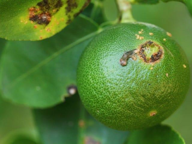 Mimicking Insect Mating Calls kunne bekæmpe Citrus Greening