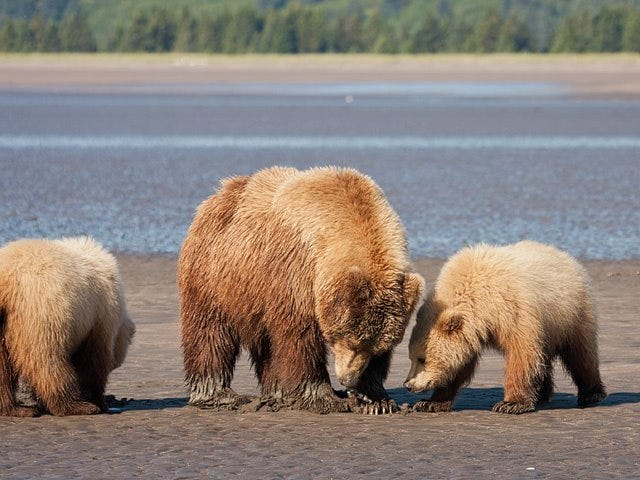 Bears Enjoy Long Walks on the Beach, Munching on Clams