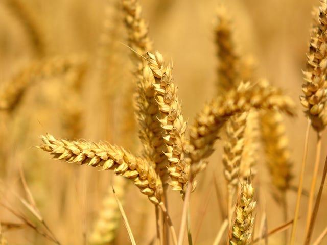 Bread Labs uppdrag att odla de bästa nya vete