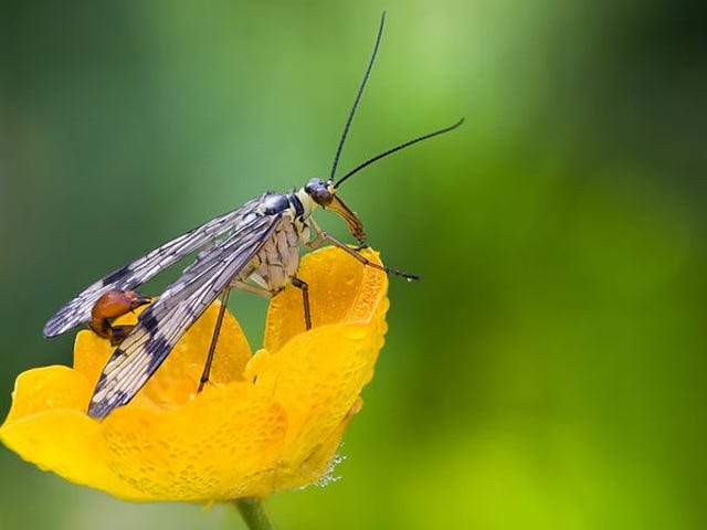The Scorpion Fly's Stinger Is for Mating, Not Defense
